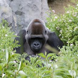 大猩猩图片源