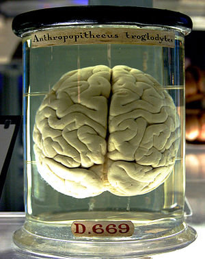 伦敦科技馆里一个大猩猩的大脑
