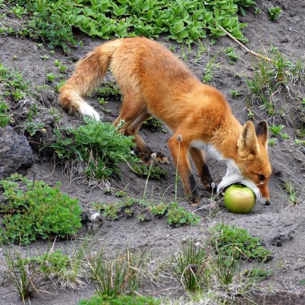 foxapple