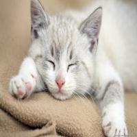 一只懒猫-