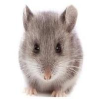 颓废的老鼠