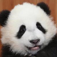 一只大熊猫
