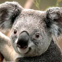 Koala_考拉