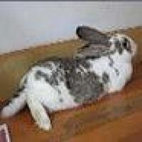 食肉大灰兔