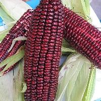 这根玉米硬肛红薯